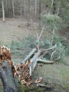 old tree down
